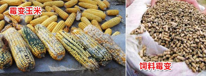 霉变玉米-6.jpg